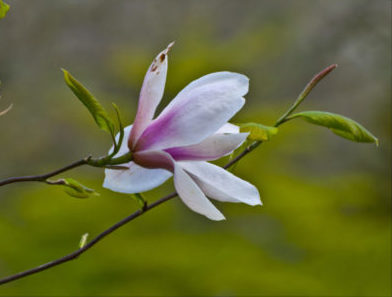 Young magnolia tree